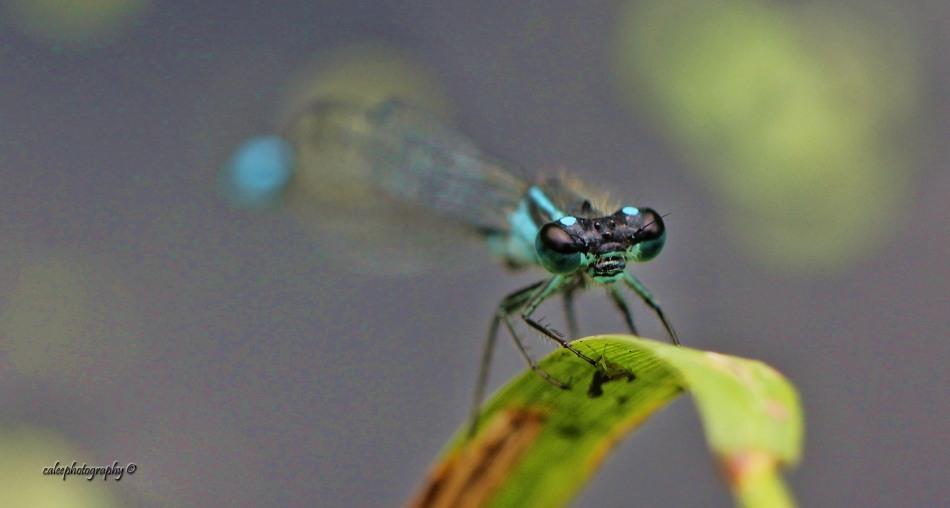 bluetail-1