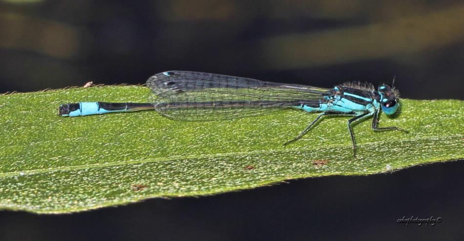 bluetail-2