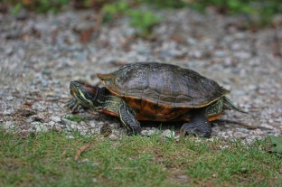 Red-eared Slider turtle, on her way from the Lost Lagoon to find a good spot to dig a nest