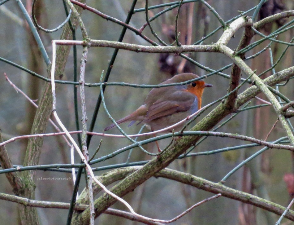 The European Robin (Erithacus rubecula), most commonly known in Anglophone Europe simply as the Robin, is a small insectivorous passerine bird that was formerly classed as a member of the thrush family (Turdidae), but is now considered to be a chat.