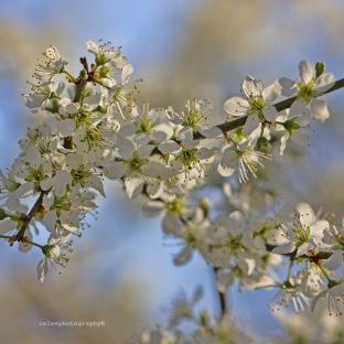 blossom-5