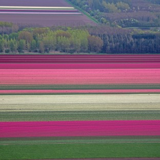 Tulip fields near Lelystad