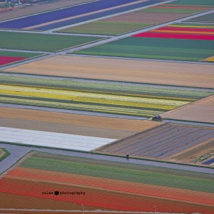 Tulip fields near IJmuiden