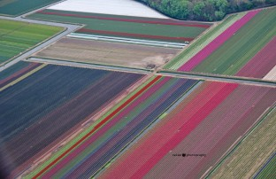 Tulip fields near Zaandam