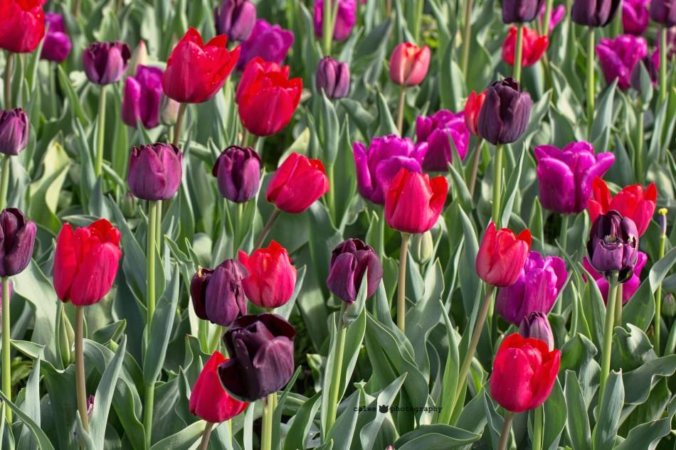 tulpen-2