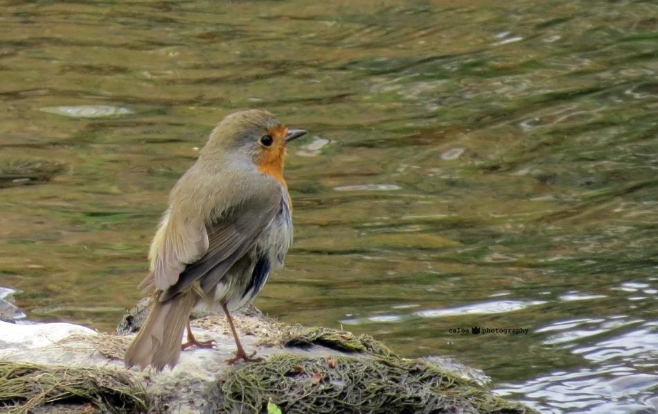 Rödhake - European Robin