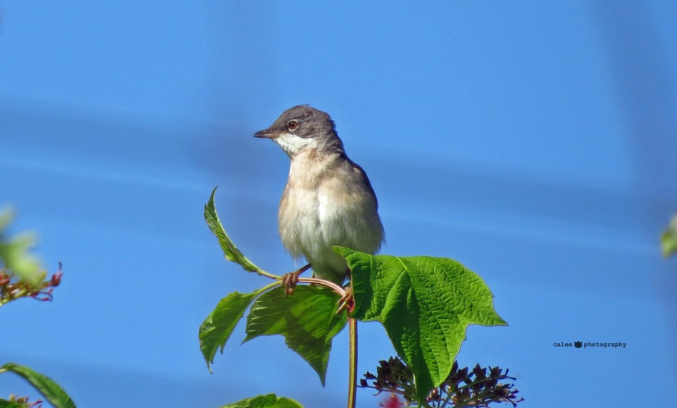 Törnsångare - Common Whitethroat
