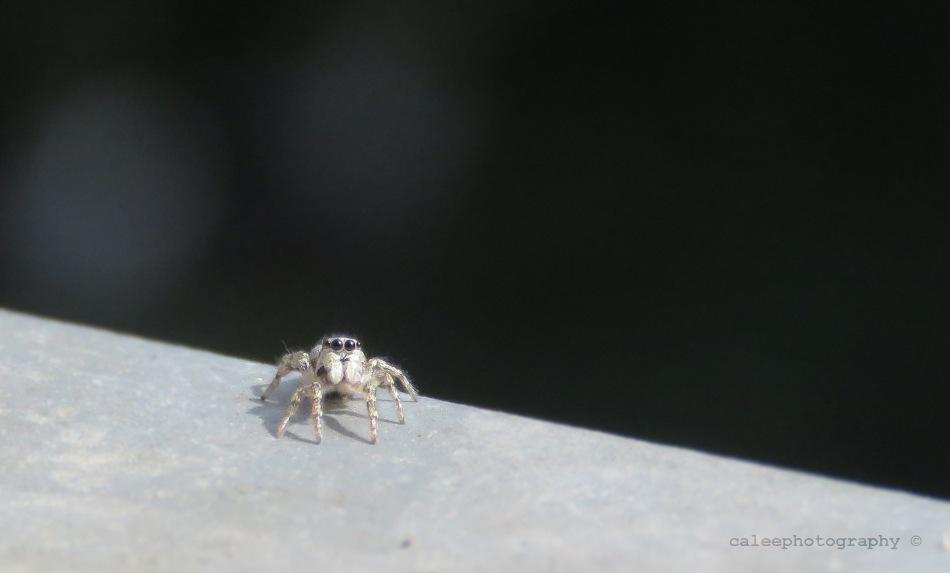Teeny tiny jumping spider