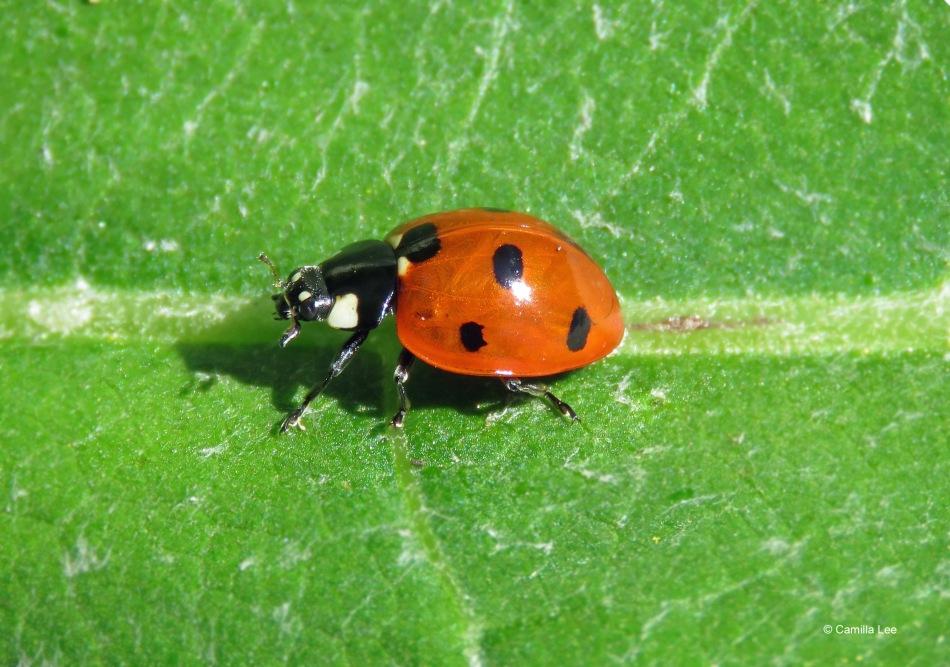 Seven-spotted ladybug or